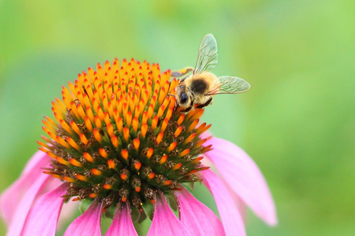 Tied for 3rd Place in the Nature Category - Bee Will Come taken at Wenger's Farm on South Main Street by Stephanie Marcott
