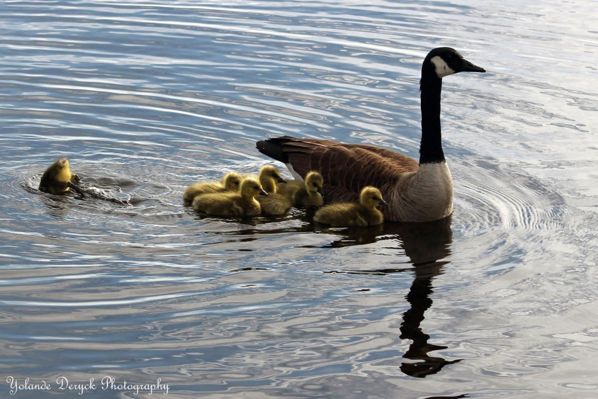People's Choice - Tied for 3rd Place in the Nature Category - Baby Geese taken at Lake Hiawatha by Yolande Deryck